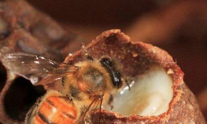bičių pienelis nuo hipertenzijos)