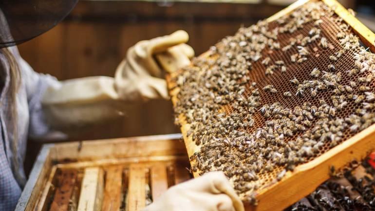 Spietimas – natūralus bičių dauginimosi būdas