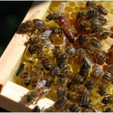 Bičių motinėlių auginimas ir spietimas